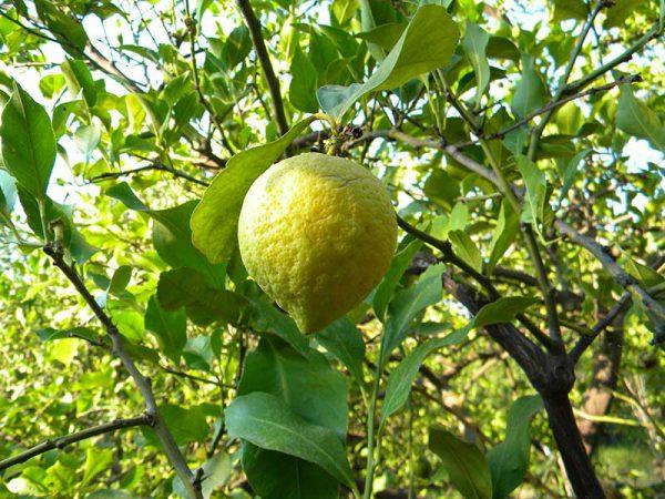 citron-biologique-grece