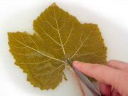 Ampelofylla – conservation des feuilles de vigne