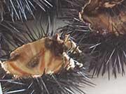 Ahino – oursins à la cuillère